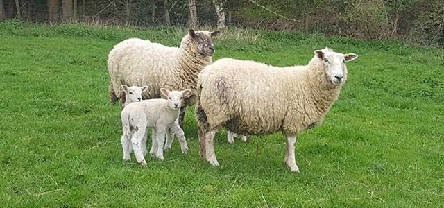 Spring Cotswold Lion Sheep and Lambs