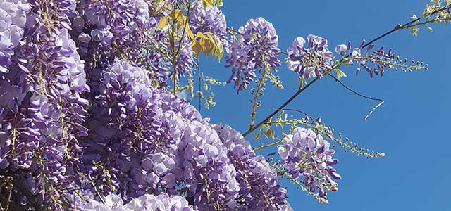 Spring Wisteria in the Cotswolds