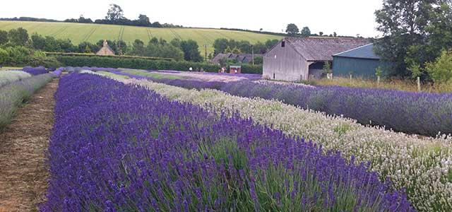 Summer Cotswold Lavender