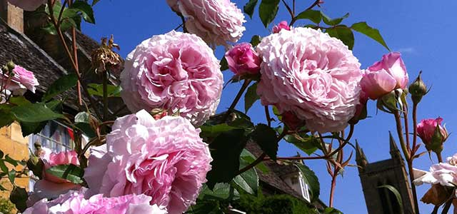 Summer Cotswold Cottage Garden Roses Cjp Cotswold Tours