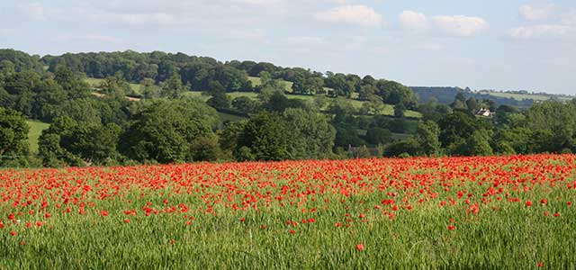 Summer Cotswold Poppy Fields